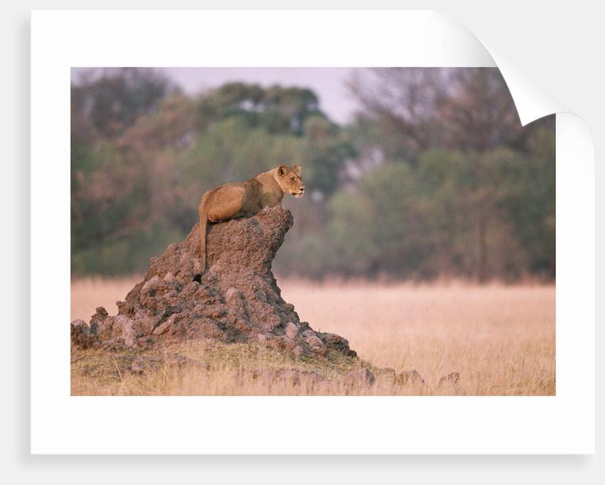 Lioness on Termite Mound by Corbis