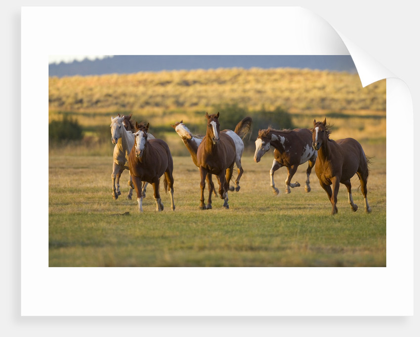 Horses Running in Prairie by Corbis