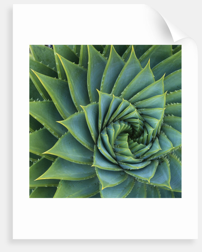 Succulent with Spiked Leaves by Corbis