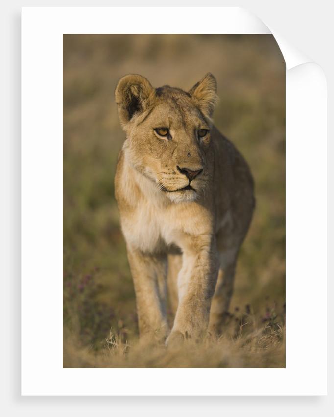 Lion Cub by Corbis