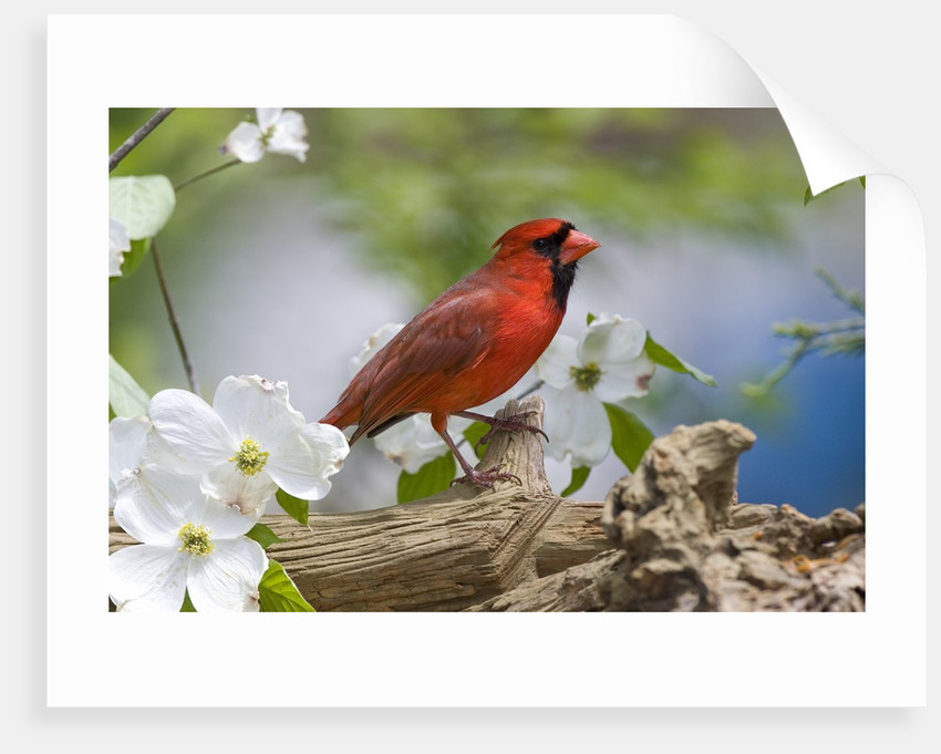 Close-up of Cardinal in Blooming Tree by Corbis