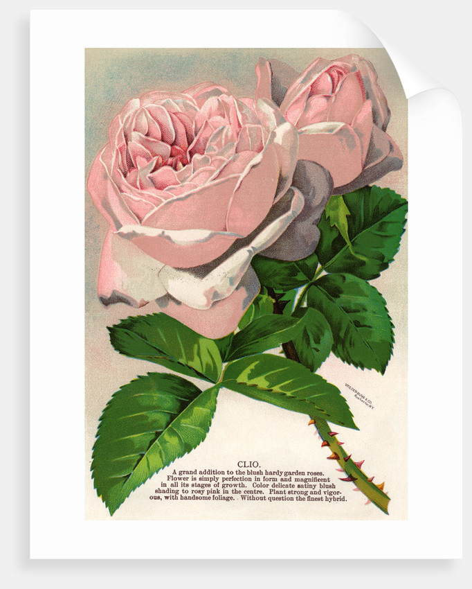 Illustration of Pink Roses by Corbis