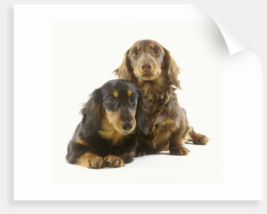 long haired dachshund puppies posters prints by corbis