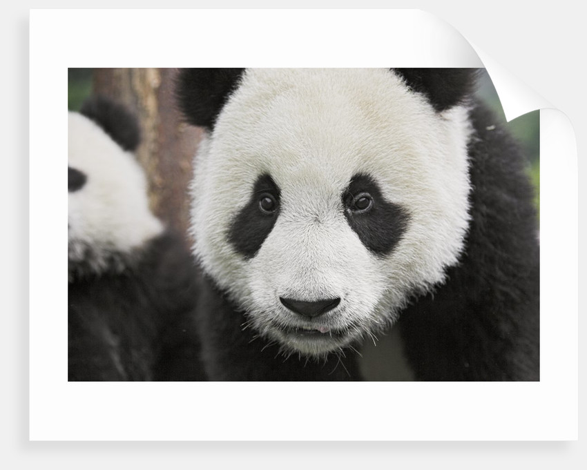 Baby Giant Pandas by Corbis