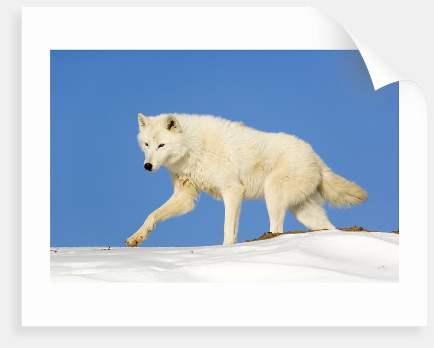 Arctic Wolf Against Blue Sky by Corbis