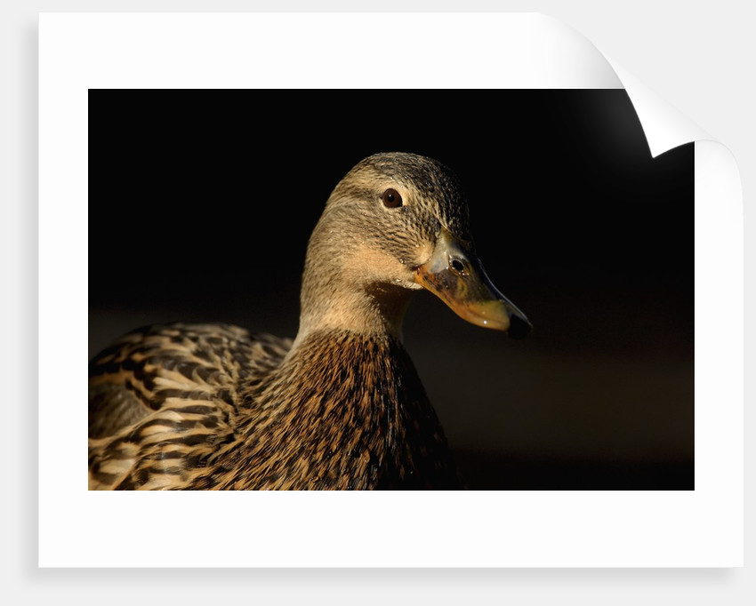 Female Mallard by Corbis