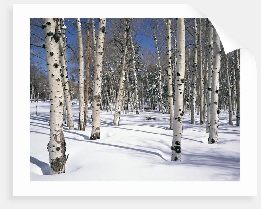 Quaking Aspens in Snow by Corbis
