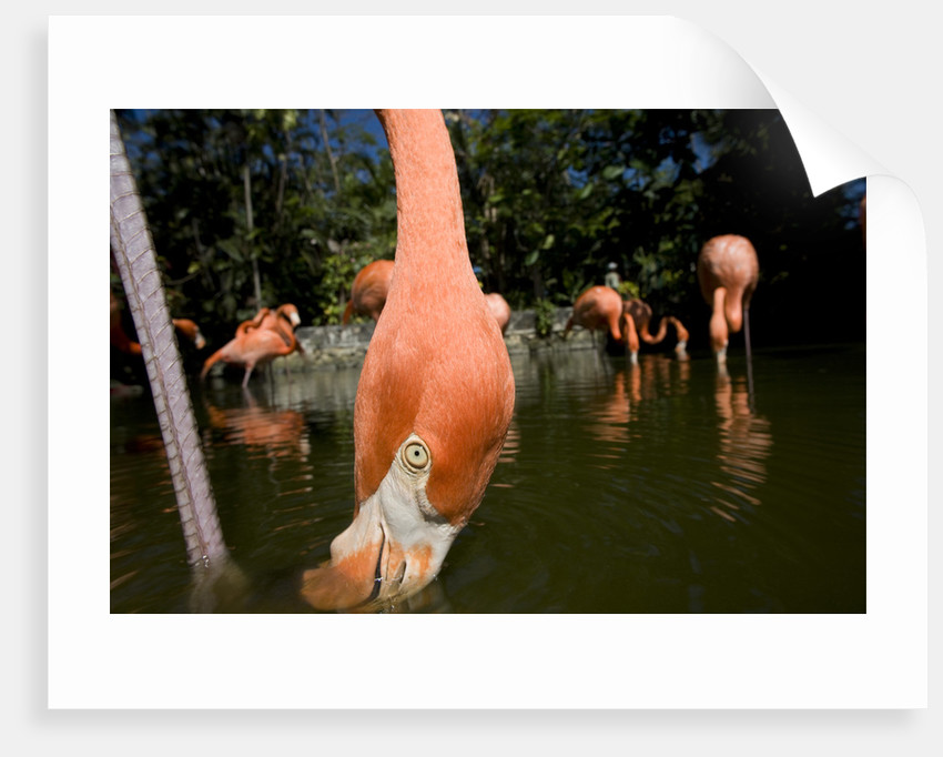 American Flamingos at Ardastra Gardens, Zoo, and Conservation Center by Corbis