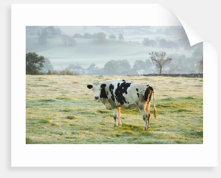 Friesen Cow Standing in Pasture by Corbis