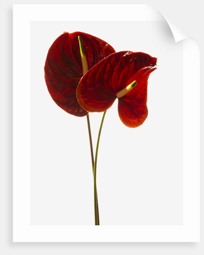 Anthurium by Corbis