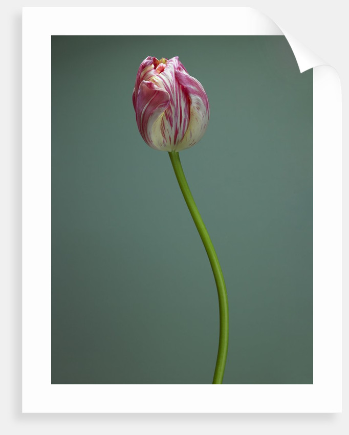 Pink and white tulip by Corbis
