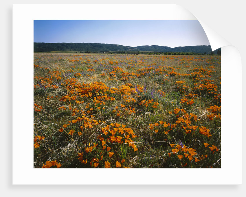 Antelope Valley California Poppy Reserve by Corbis