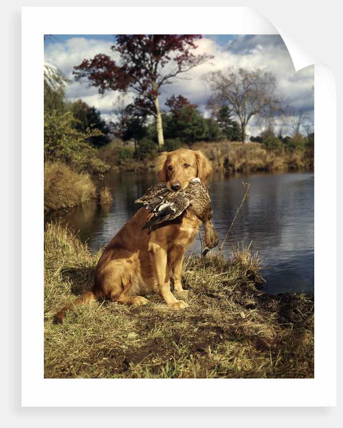 1980s Golden Retriever Holding A Dead Duck In Mouth by Corbis