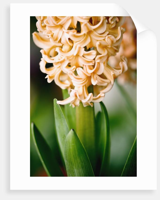 Fragrant Hyacinth by Corbis