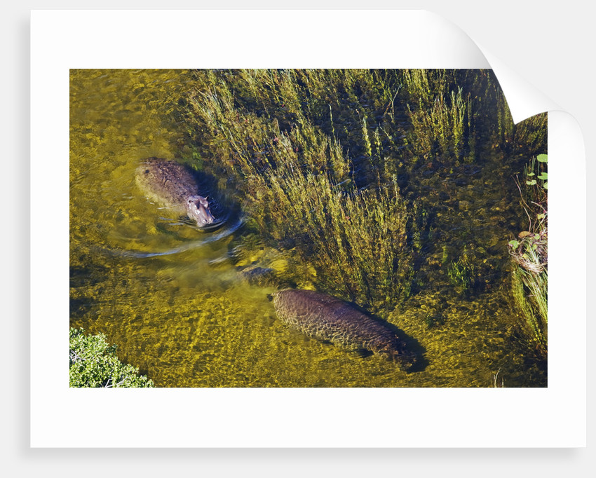 Aerial View of Hippopotamuses by Corbis