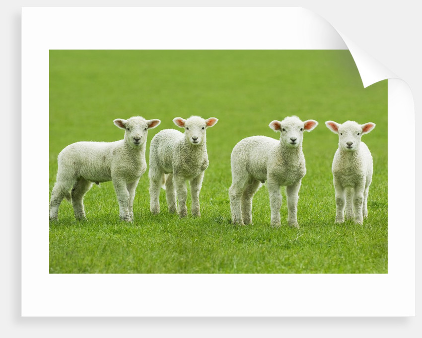 Four Lambs in Pasture by Corbis