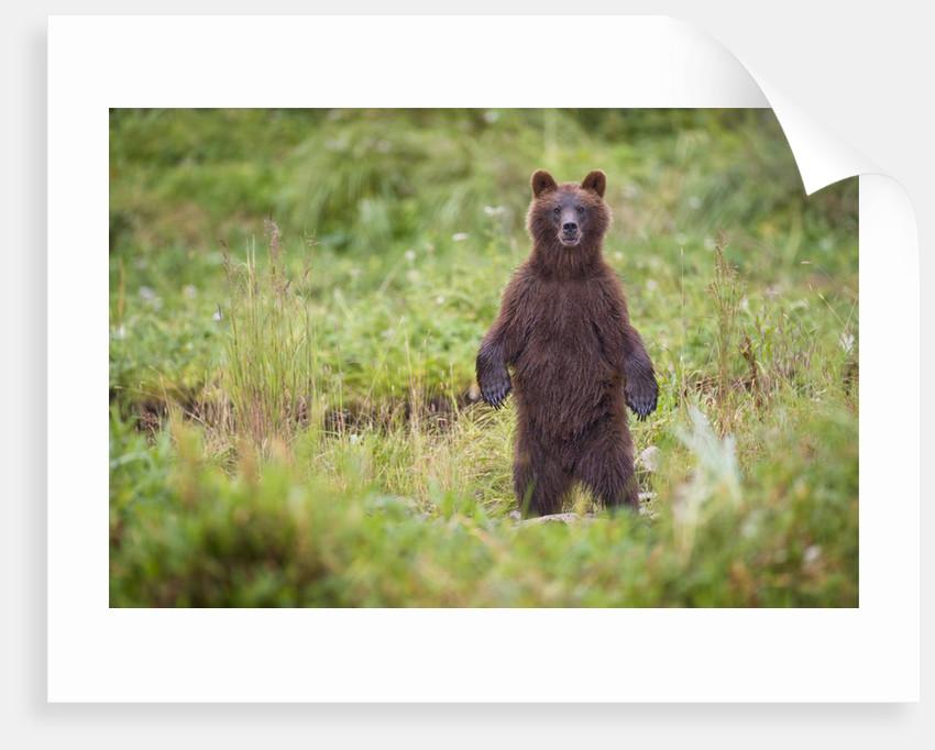 Brown Bear in Coastal Meadow in Alaska by Corbis