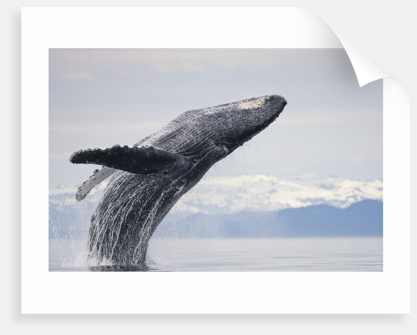 Art print POSTER CANVAS Humpback Whale in Frederick Sound