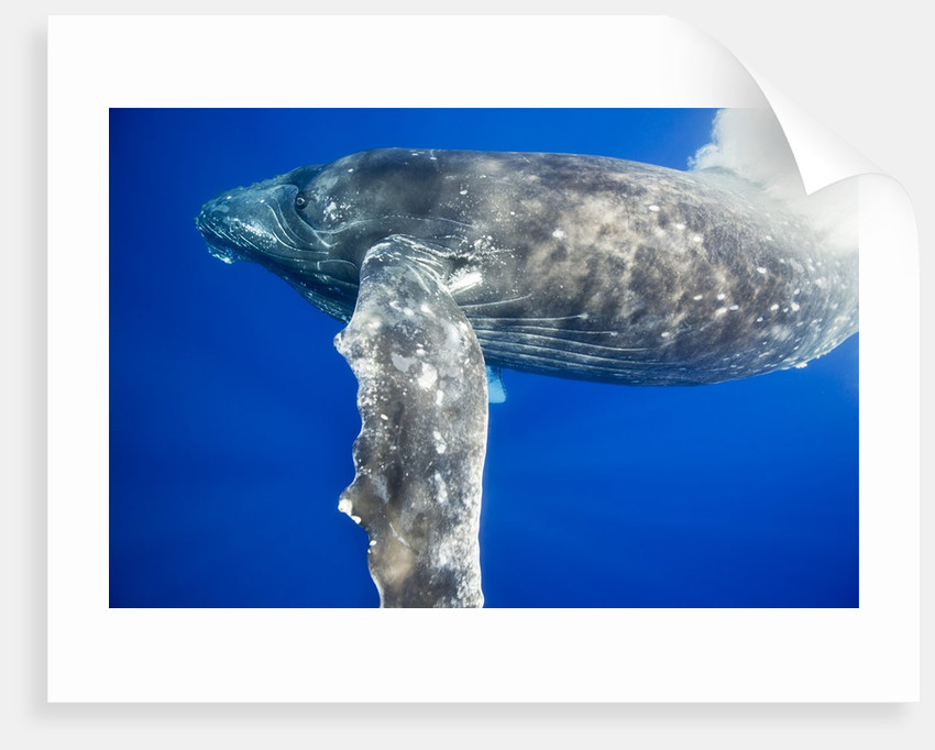 Humpback Whale Diving Near Surface by Corbis