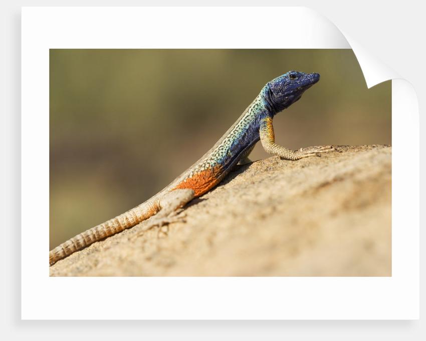 Augrabies Flat Lizard by Corbis