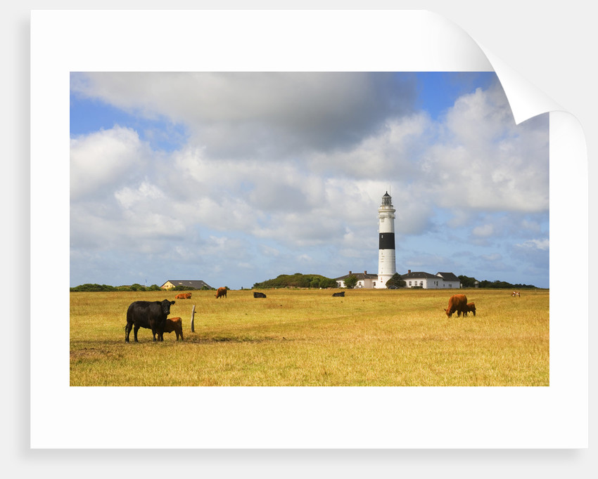 Cows Grazing near Kampen Lighthouse on Sylt Island by Corbis
