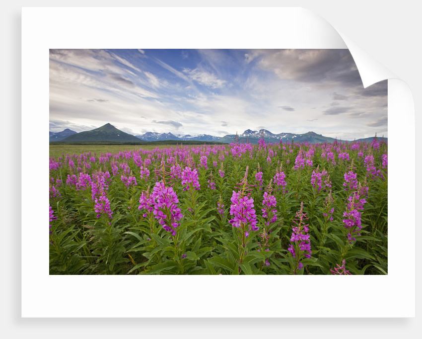 Fireweed in Meadow at Hallo Bay in Katmai National Park by Corbis