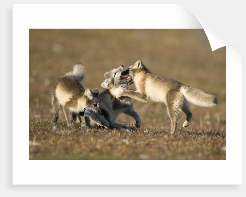 Arctic Fox Kits Playing on Tundra on Edgeoya Island by Corbis