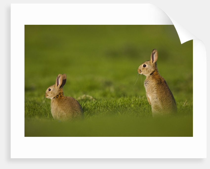 Alert Adult Rabbits by Corbis