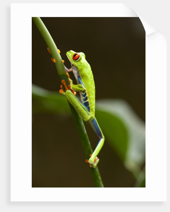 Tree Frog in Costa Rica by Corbis