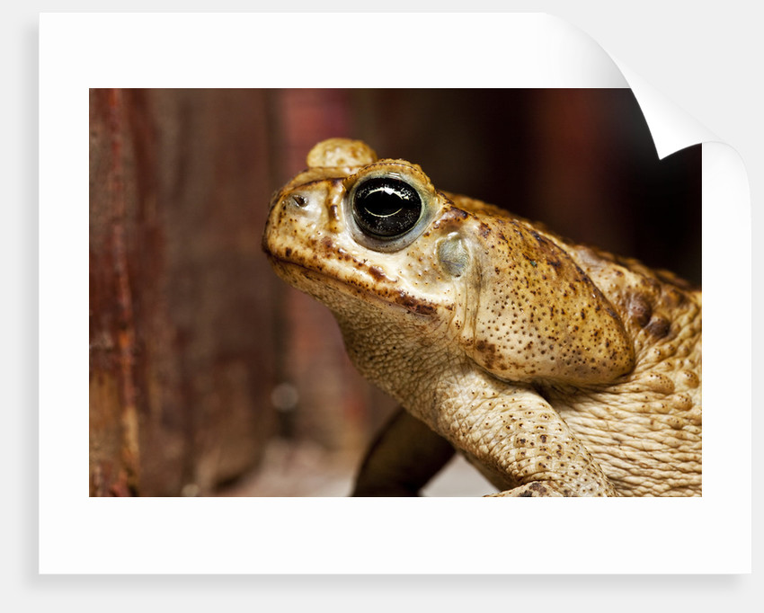 Poisonous Toad in Costa Rica by Corbis