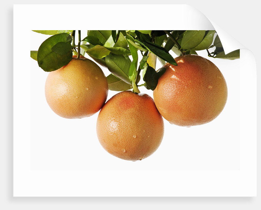 Pink grapefruit hanging from tree by Corbis