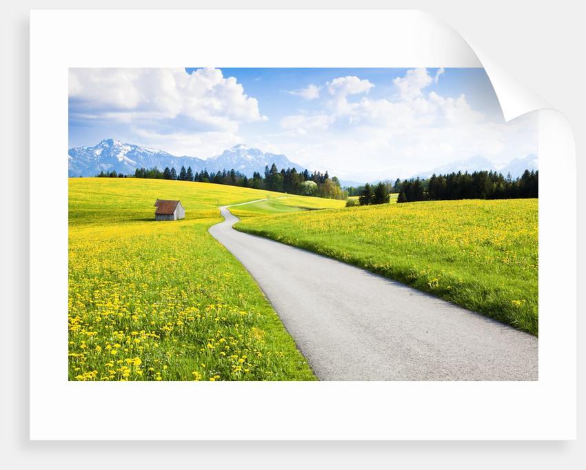 Road through dandelion fields by Corbis