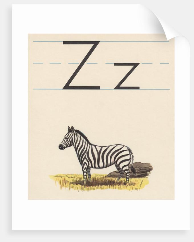 Z is for zebra by Corbis