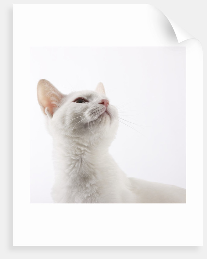 White cat looking up by Corbis
