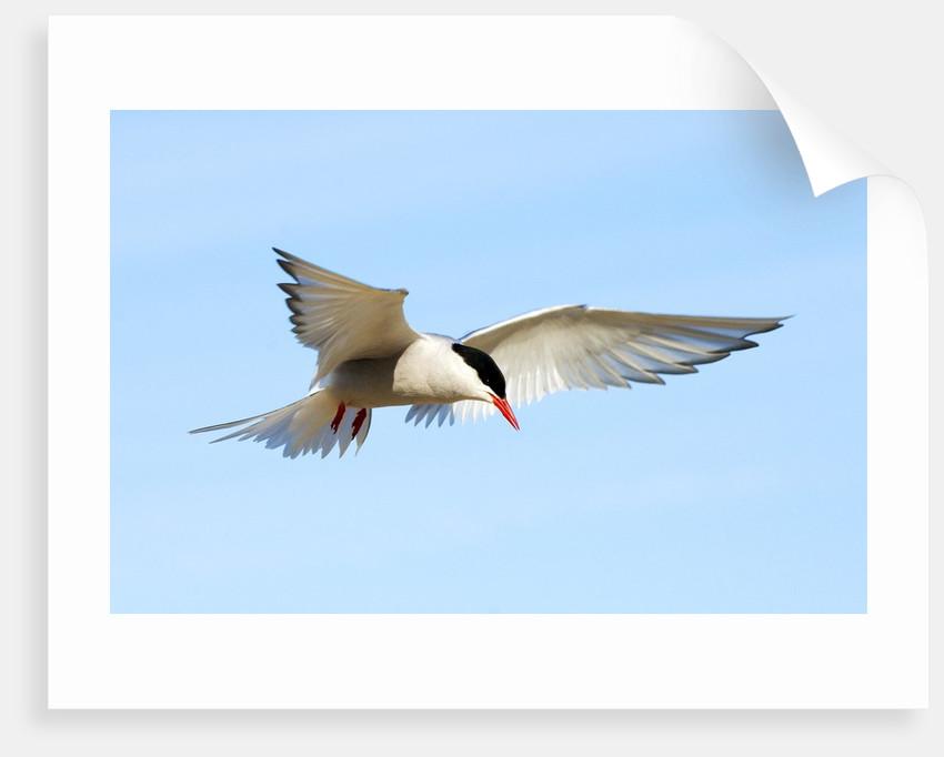 Adult Arctic Tern (Sterna Paradisea) Hovering Before a Dive, Victoria Island, Nunavut, Arctic Canada by Corbis