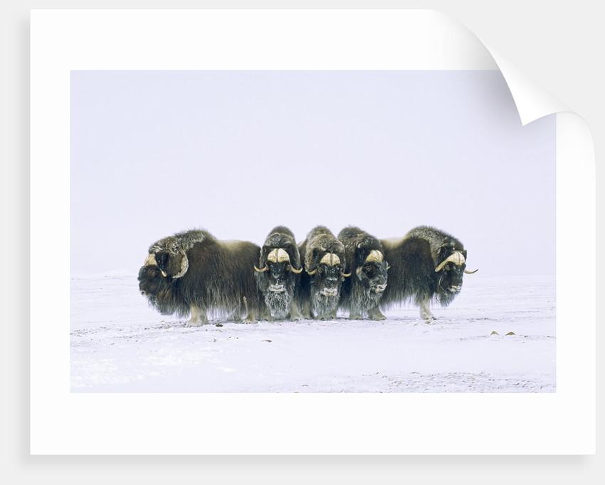 Adult Bull Muskoxen (Ovibos Moschatus) in Defensive Line. Banks Island, Northwest Territories, Arctic Canada. by Corbis