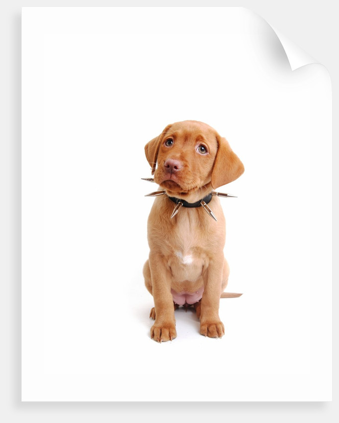Fox Red Labrador Puppy Wearing Large Spiked Collar Posters Prints