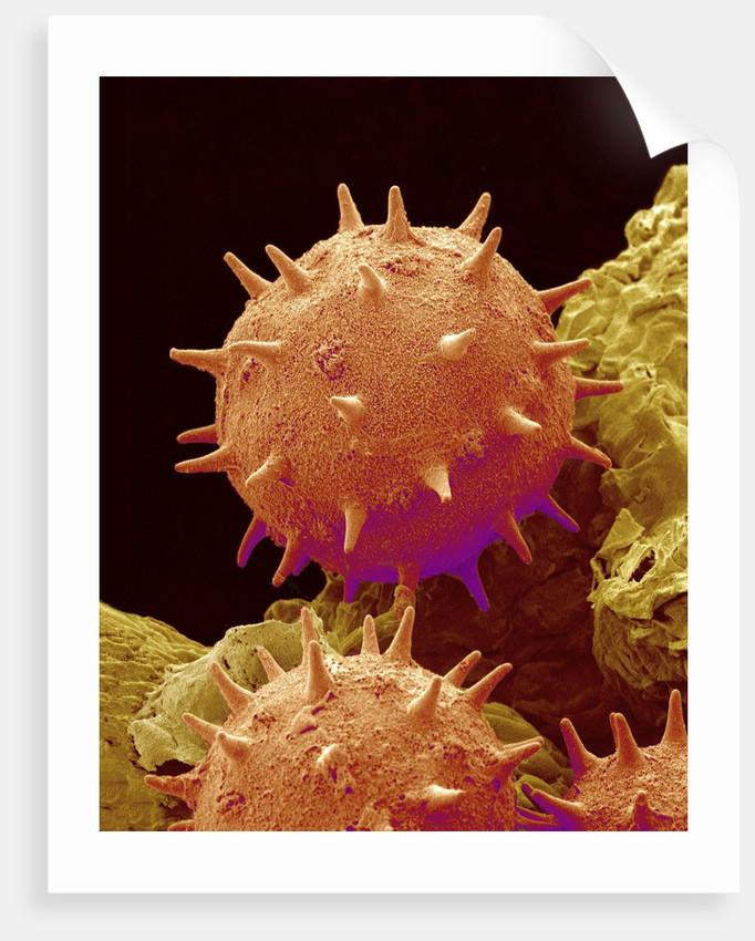 Pollen of Mallow by Corbis