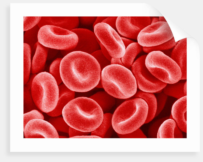 Human Red blood cells by Corbis
