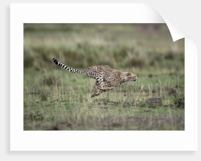Adolescent Cheetah cub running in Masai Mara National Reserve by Corbis