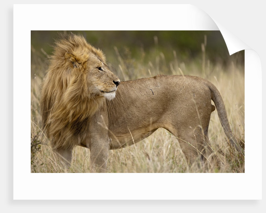 Adult male lion in tall grass in Masai Mara National Reserve by Corbis