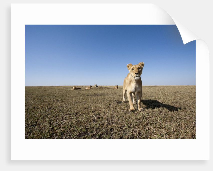 Curious lion approaching on savanna by Corbis