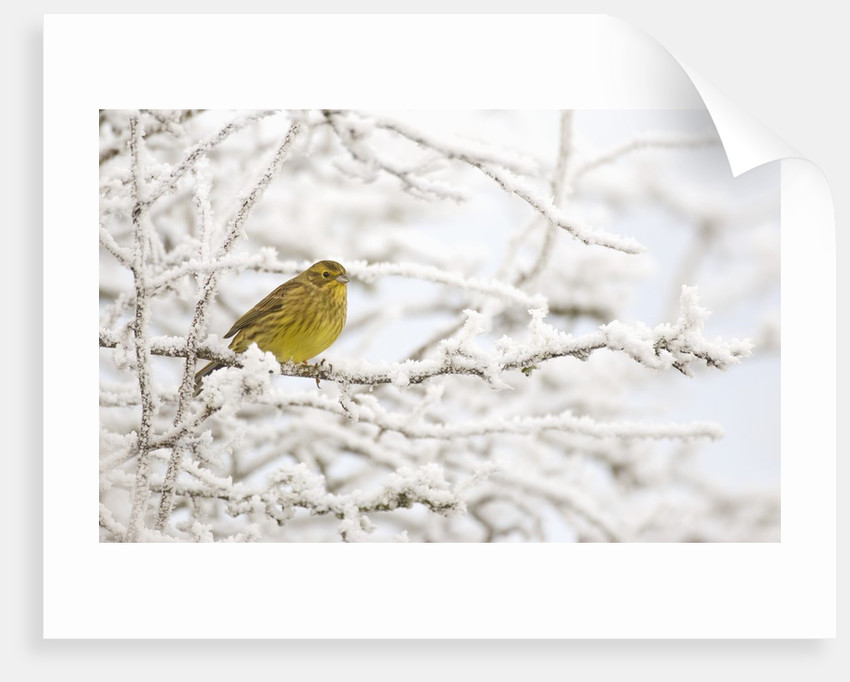 Adult female Yellowhammer perched on frost covered branches by Corbis