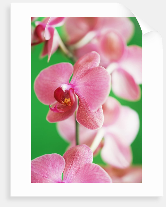 Moth orchid by Corbis