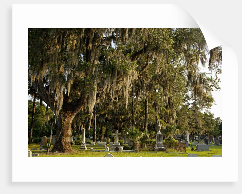 Gravestones and trees draped in Spanish Moss in Bonaventure Cemetery, Savannah, Georgia by Corbis