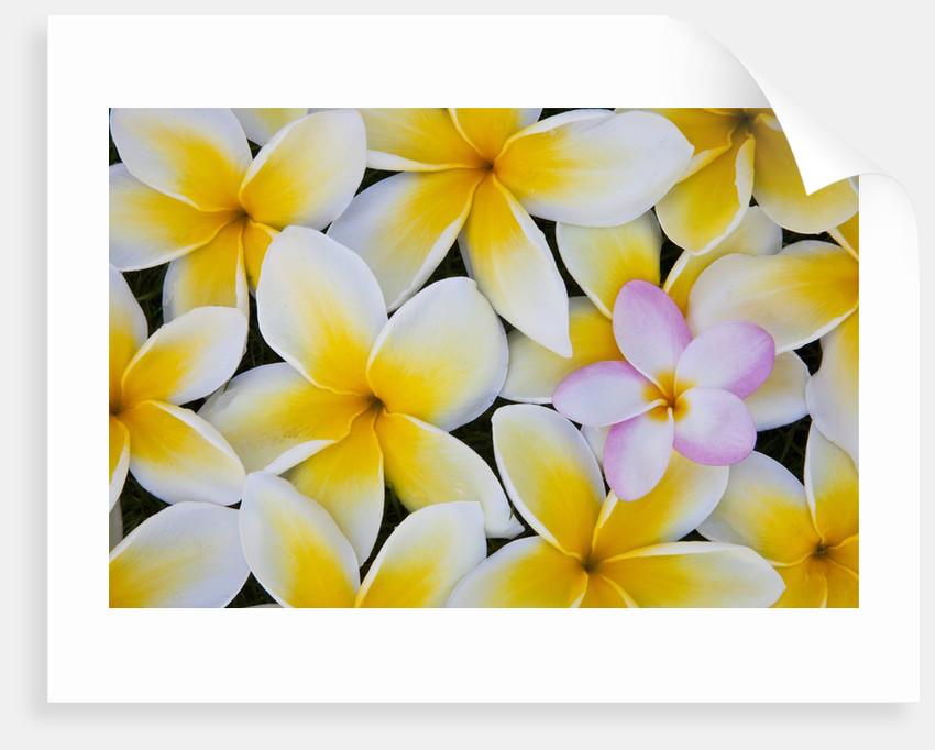 Frangipani flowers by Corbis