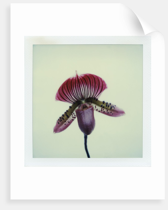 Lady Slipper Orchid by Corbis