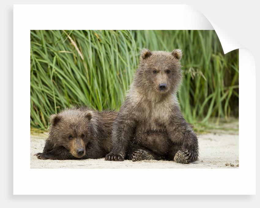 Brown Bear Cubs, Katmai National Park, Alaska by Corbis