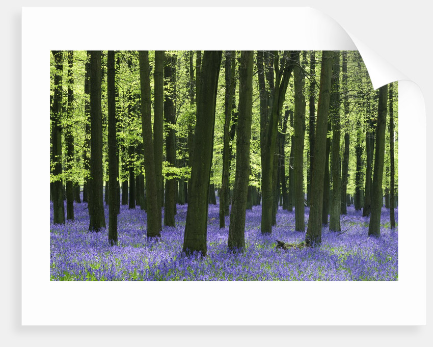 Bluebells at Dockey Wood on the Ashridge Estate by Corbis