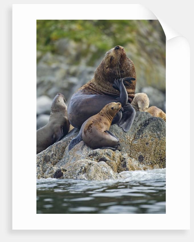 Steller's Sea Lions, Alaska by Corbis